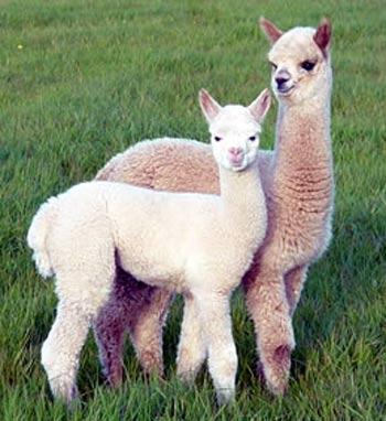 light tiny alpacas