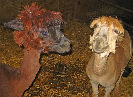 shorn alpacas