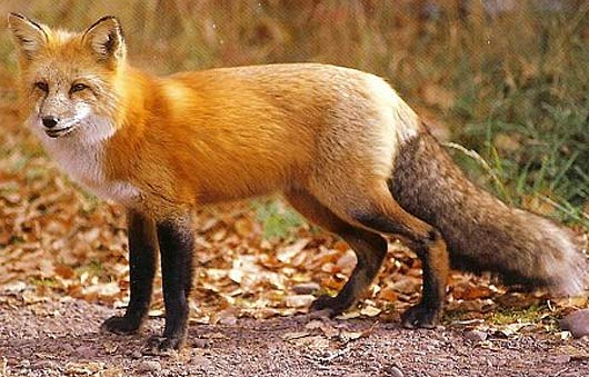 beautifully colored fox
