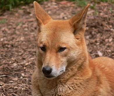 Dingo Sandy Australian Wild Dog Animal Pictures And