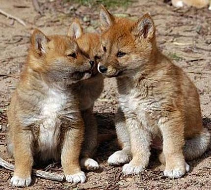 dingo sandy australian wild dog animal pictures and facts