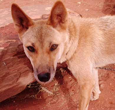 dingo red rocks