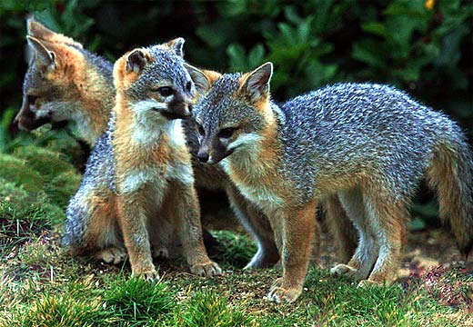 fox cubs grey