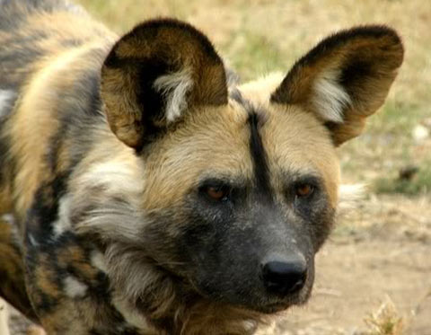 lycaon pictus head wild dog
