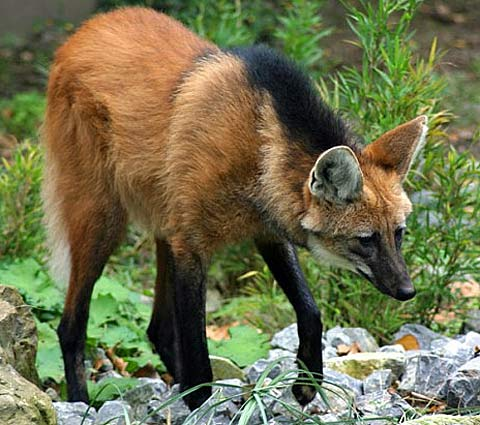 Maned Wolf Long Legs With Red Fox Head Animal Pictures