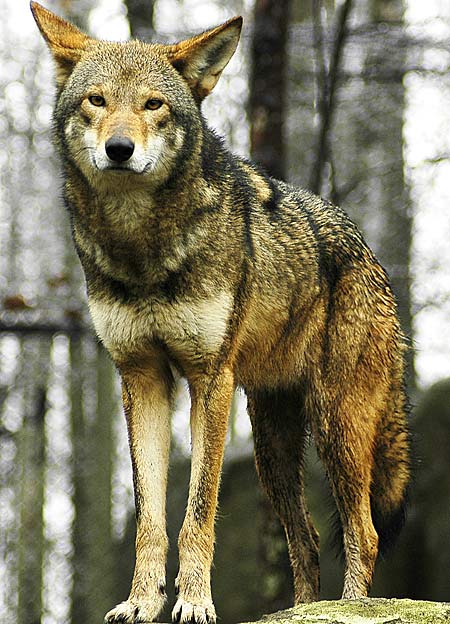 Red Wolf Canine On The Brink Of Extinction Animal
