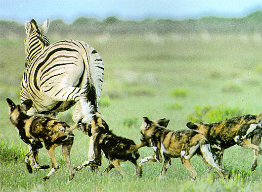 wild dogs hunting