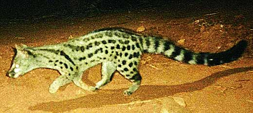 Cape or Spotted Genet