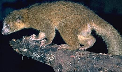 Olingo Bushy Tailed Rainforest Tree Dweller Animal