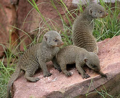 pet mongoose