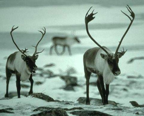 caribou snow