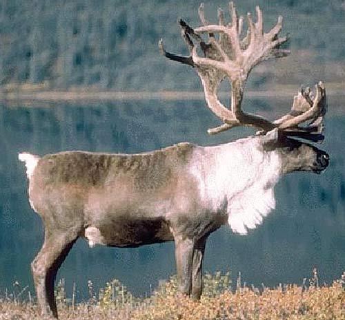 enormous caribou