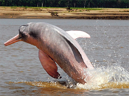 amazon river dolphin leaping