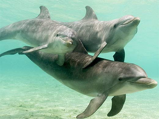 Bottlenose Dolphin - Everyone's Favorite Smiling Marine ...