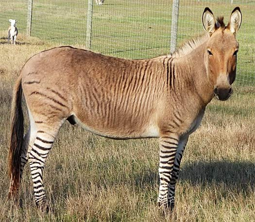 Show Me Pictures Of Small Beautiful Bathrooms: Zonkey - Hearty Equine Crossbreed