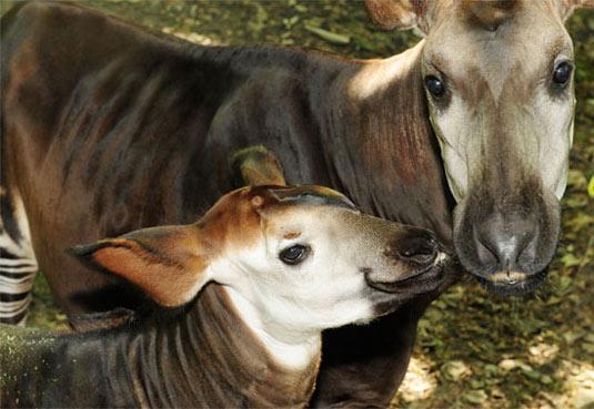 Okapi - Zebra, Giraffe, Horse Mix | Animal Pictures and ...