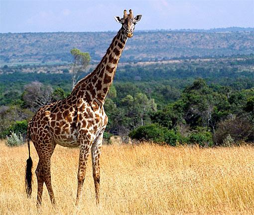 Giraffe For their height giraffes