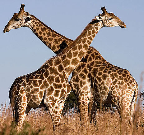 two long necks