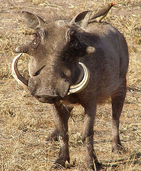 Warthog - Yup, It's Ugly but a Clever Survivor | Animal Pictures ...