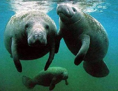 sea cow family