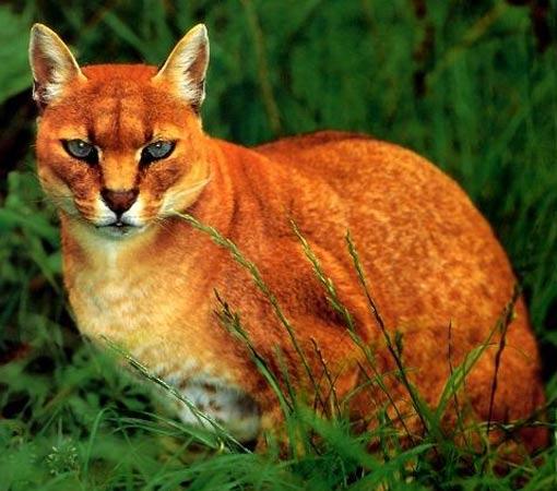 african golden felis aurata