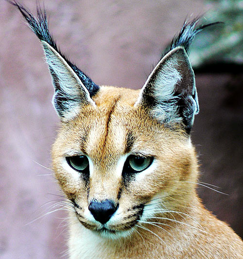 Caracal - Precision Black Ears, Bird Hunter | Animal Pictures and ...