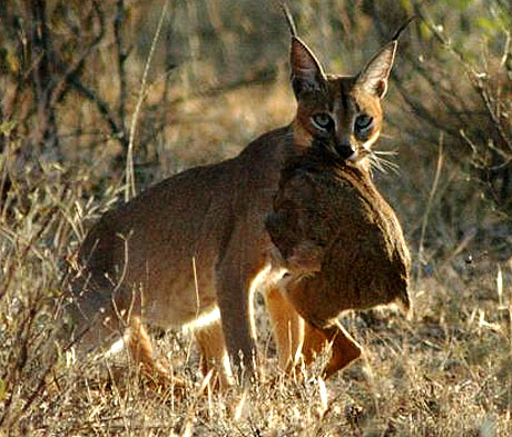 african serval cat full grown