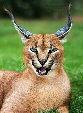 Types Of Big Cat In Africa