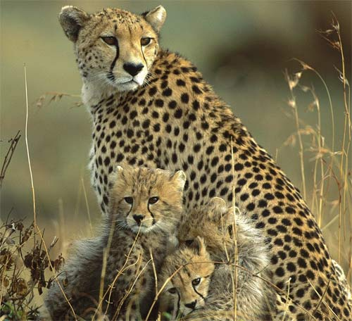 an introduction to cheetahs the fastest of felines World's fastest cheetah dies—watch her run  the big cats, which live in africa and iran, have dwindled from about 100,000 in 1900 to an estimated 9,000 to 12,000 individuals today, .