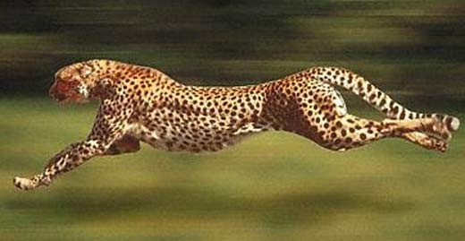 Cheetah World S Fastest Runner Animal Pictures And