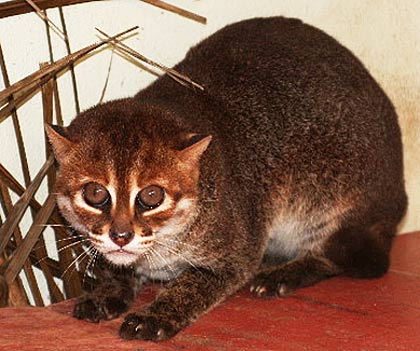 Flat headed  felis planiceps