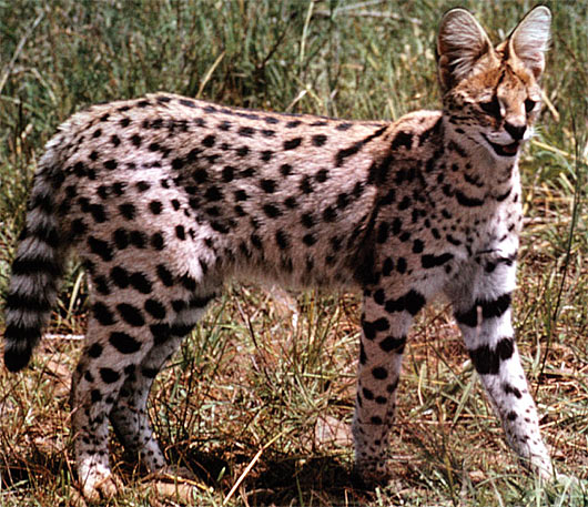 morocco animal pictures and facts factzoocom