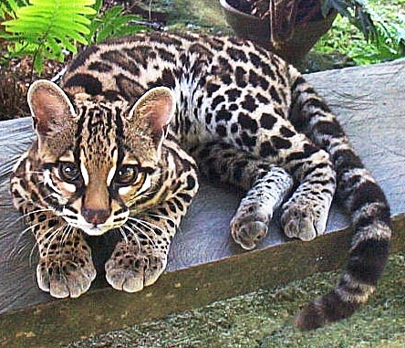 http://www.factzoo.com/sites/all/img/mammals/felidae/margay-felis-wiedi.jpg