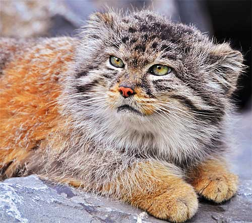 pallas cat orange coat