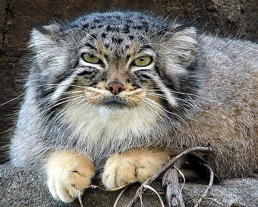 Oldest Wild Cat Species