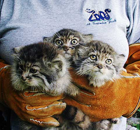 Pallas Cat Manul Thickest Fur Of Wild Cats Animal