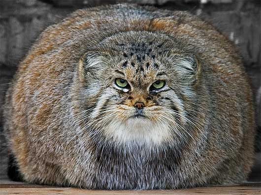 rotund cat not pleased