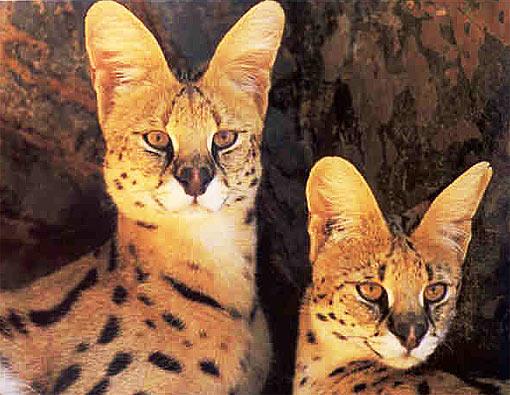 Serval Long Legged Little Head African Cat Animal