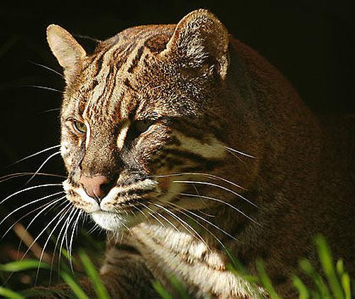 southeast golden cat