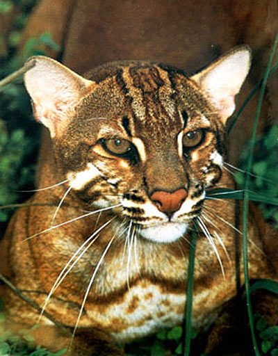 asiatic gold cat