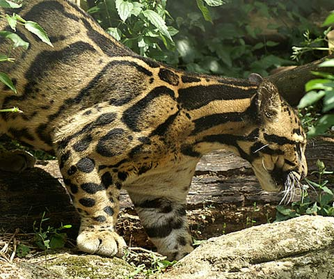 clouded leopard china