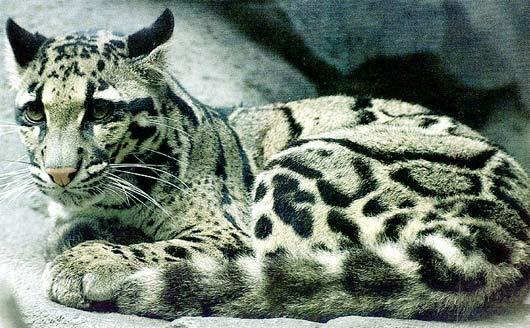 clouded leopard spots