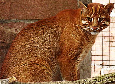 golden asian cat