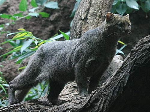 Jaguarundi v Lace monitor The