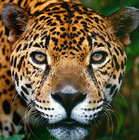 jaguar head close up