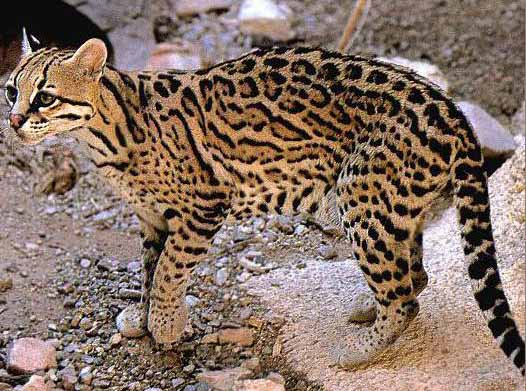 little dwarf leopard