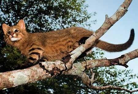 pampas cat climbing tree