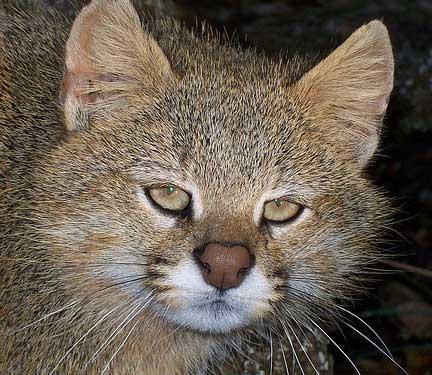 pampas cat head older