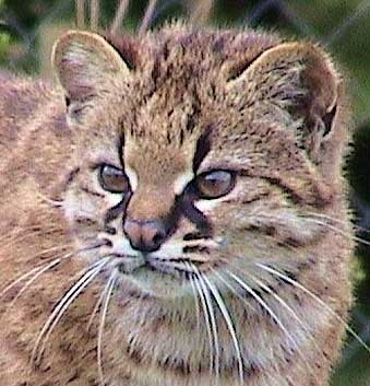 pampas cat head