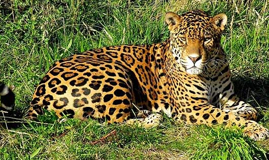 jaguar fiercest cat of the americas animal pictures and facts